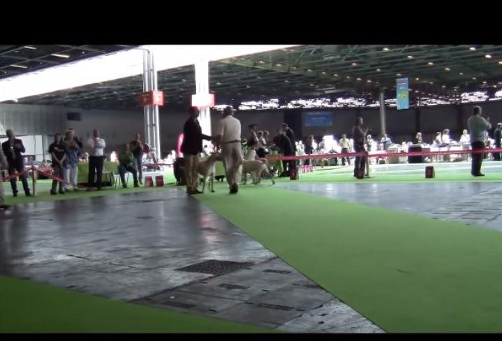 dogues argentins durant le World Dog Show 2011 de Paris