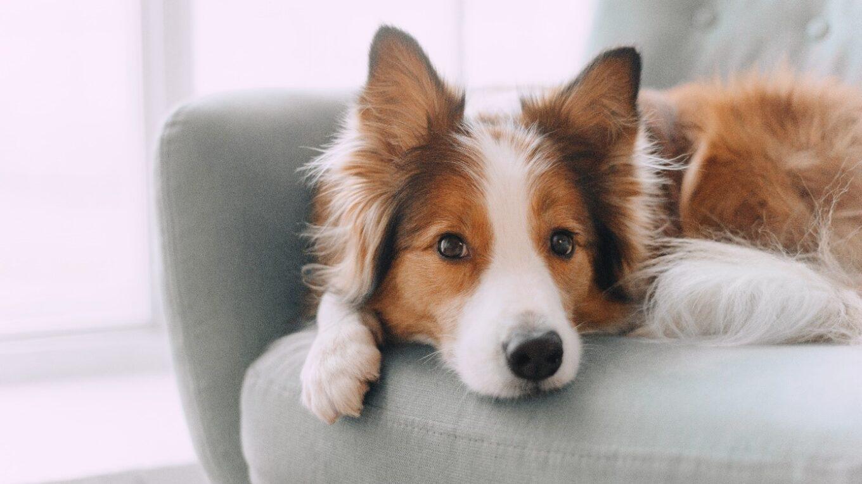 un chien sur le canapé